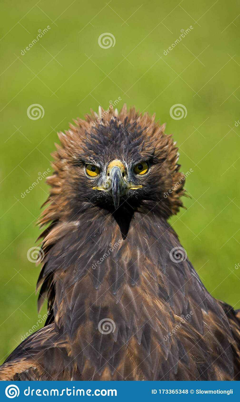 Aigle Royal Aquila Chrysaetos Stock Photo Image Of Prey Golden 173365348