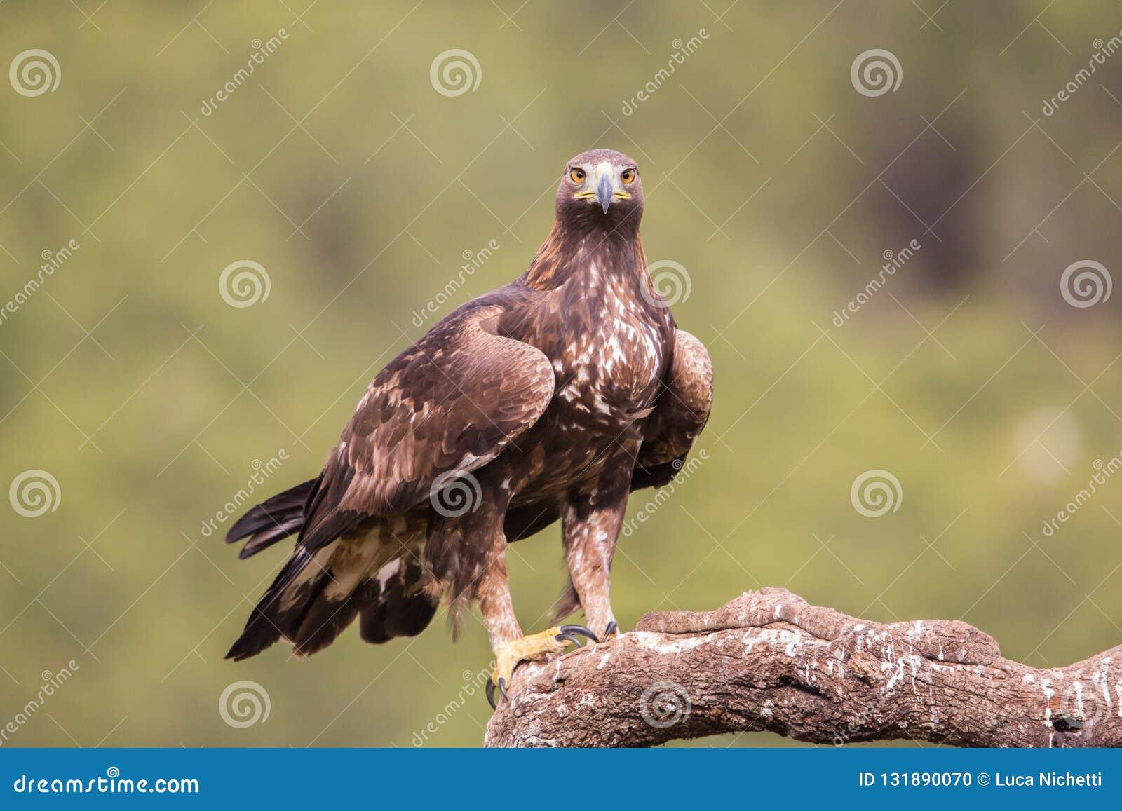 Golden eagle (Aquila chrysaetos), Andalusia, Spain stock photo