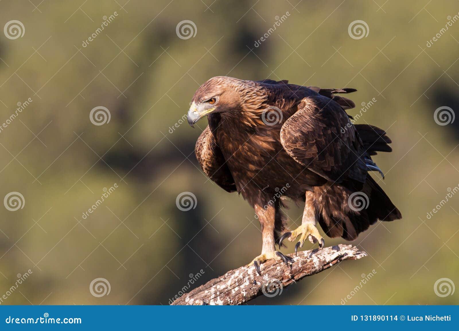 Golden eagle (Aquila chrysaetos), Andalusia, Spain stock images