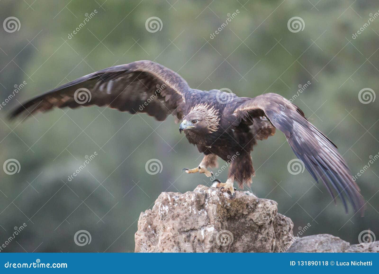 Golden eagle (Aquila chrysaetos), Andalusia, Spain royalty free stock photos