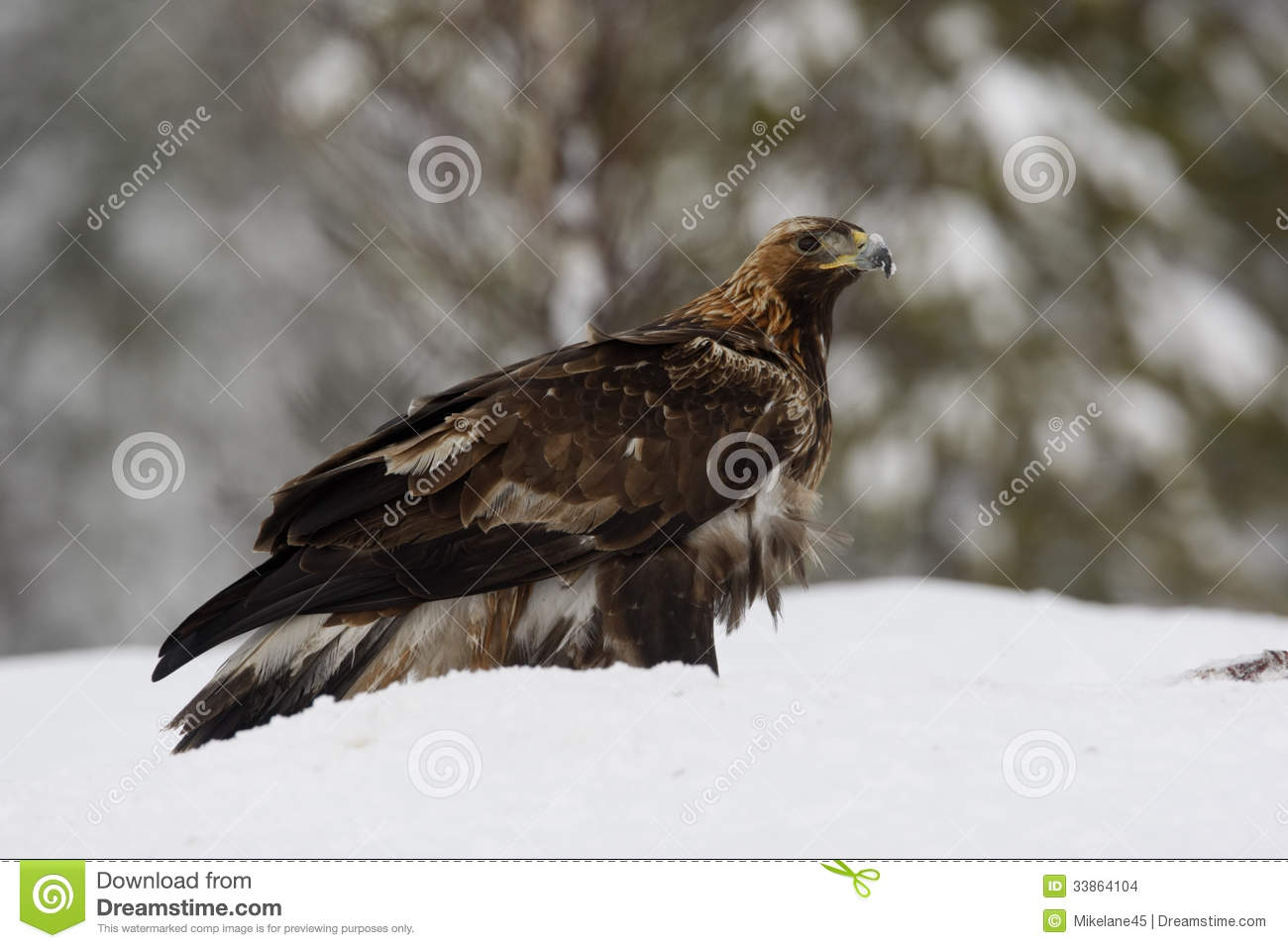 golden eagle jewish single men The silver eagle was the ensign of the roman legion and the symbol of its power the legatus was the officer in charge, and he would assign an aquilifer who was the soldier that would carry the aquila (eagle) into battle.
