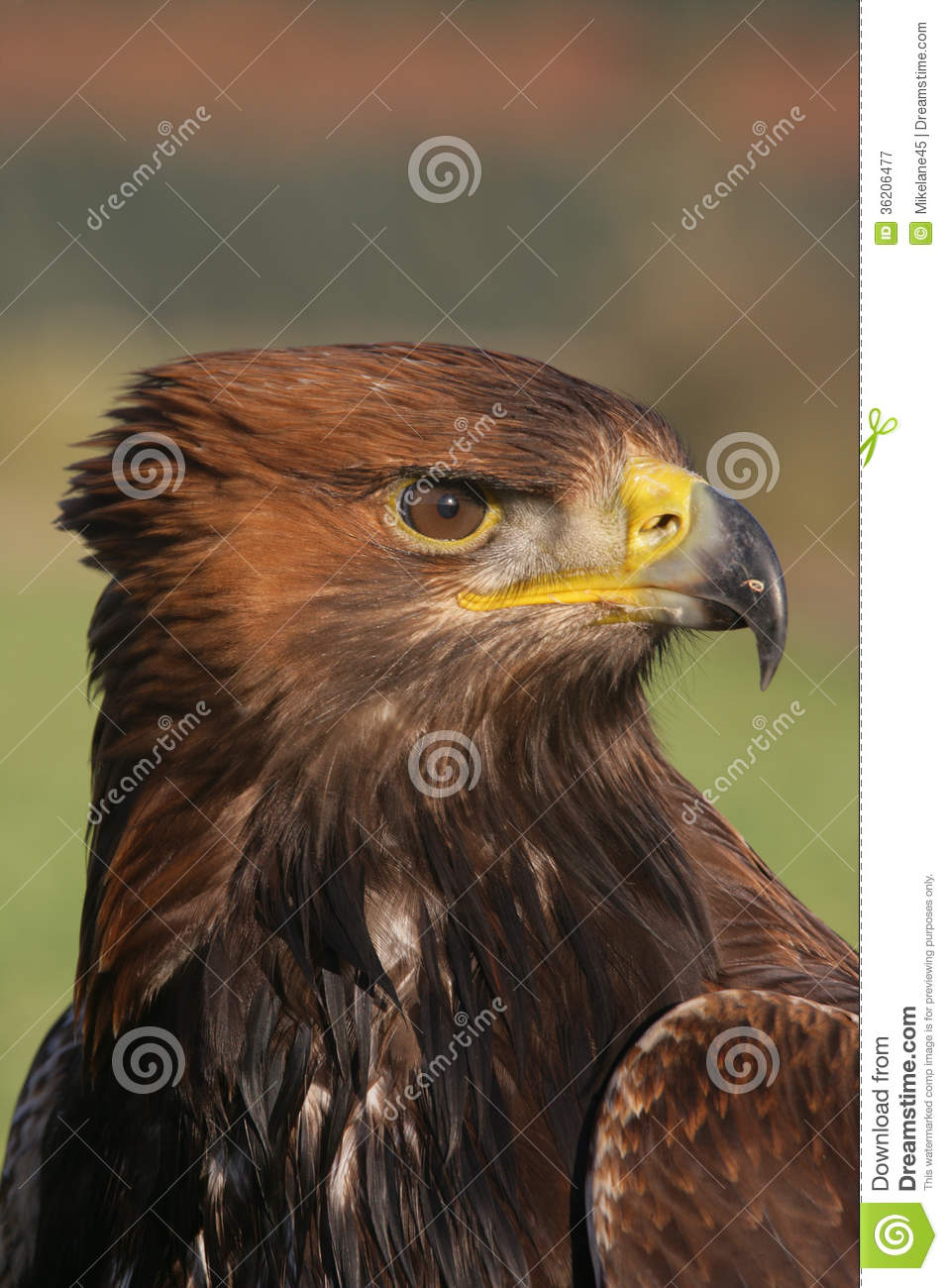 golden eagle senior singles Singles from common courtesy right back at it again released: november 11, 2013 end of me released: march 25, 2014 the second episode, golden eagle.