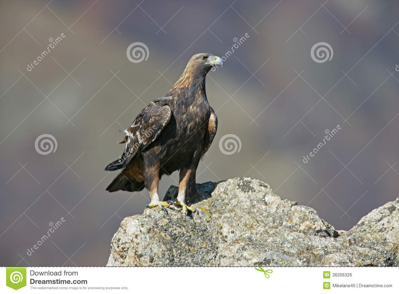 golden eagle asian singles A fascinating central asian custom: the hunters who use golden eagles to catch their prey.