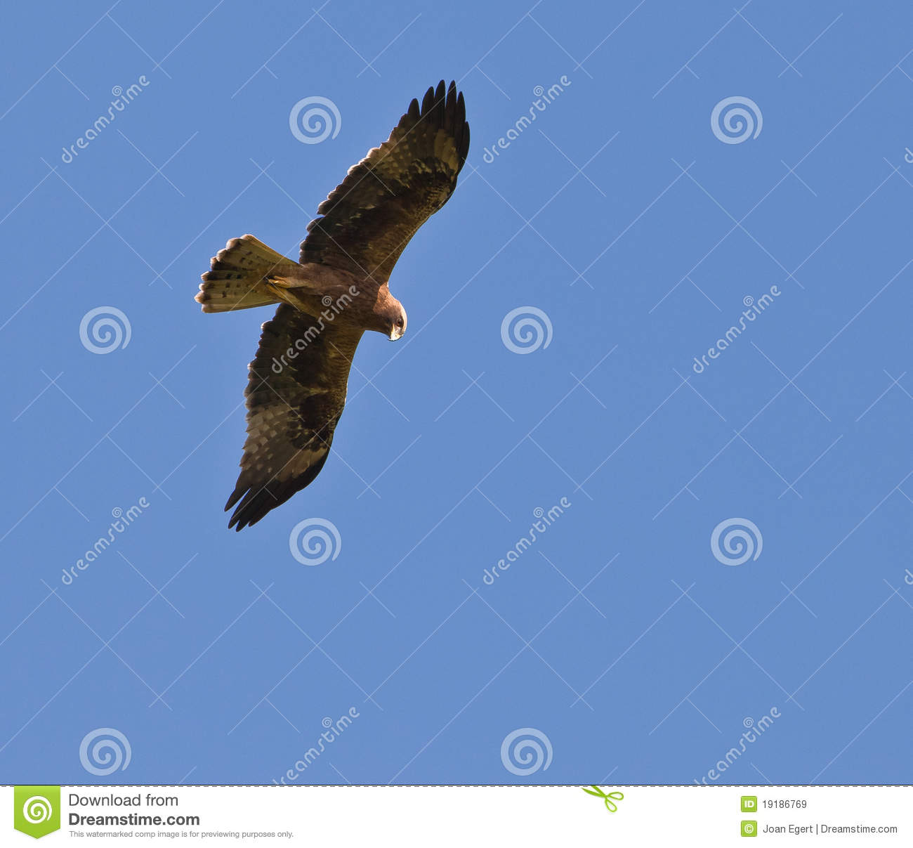 Golden Eagle on flight