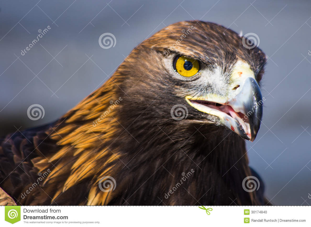Download Golden Eagle stock photo. Image of prey, accipitridae - 30174840