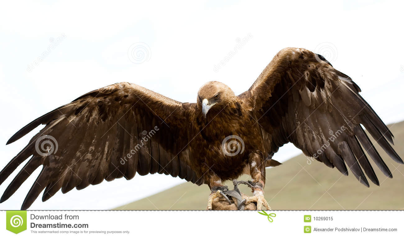 Golden eagle with spread wings  Eagle Wings Spread