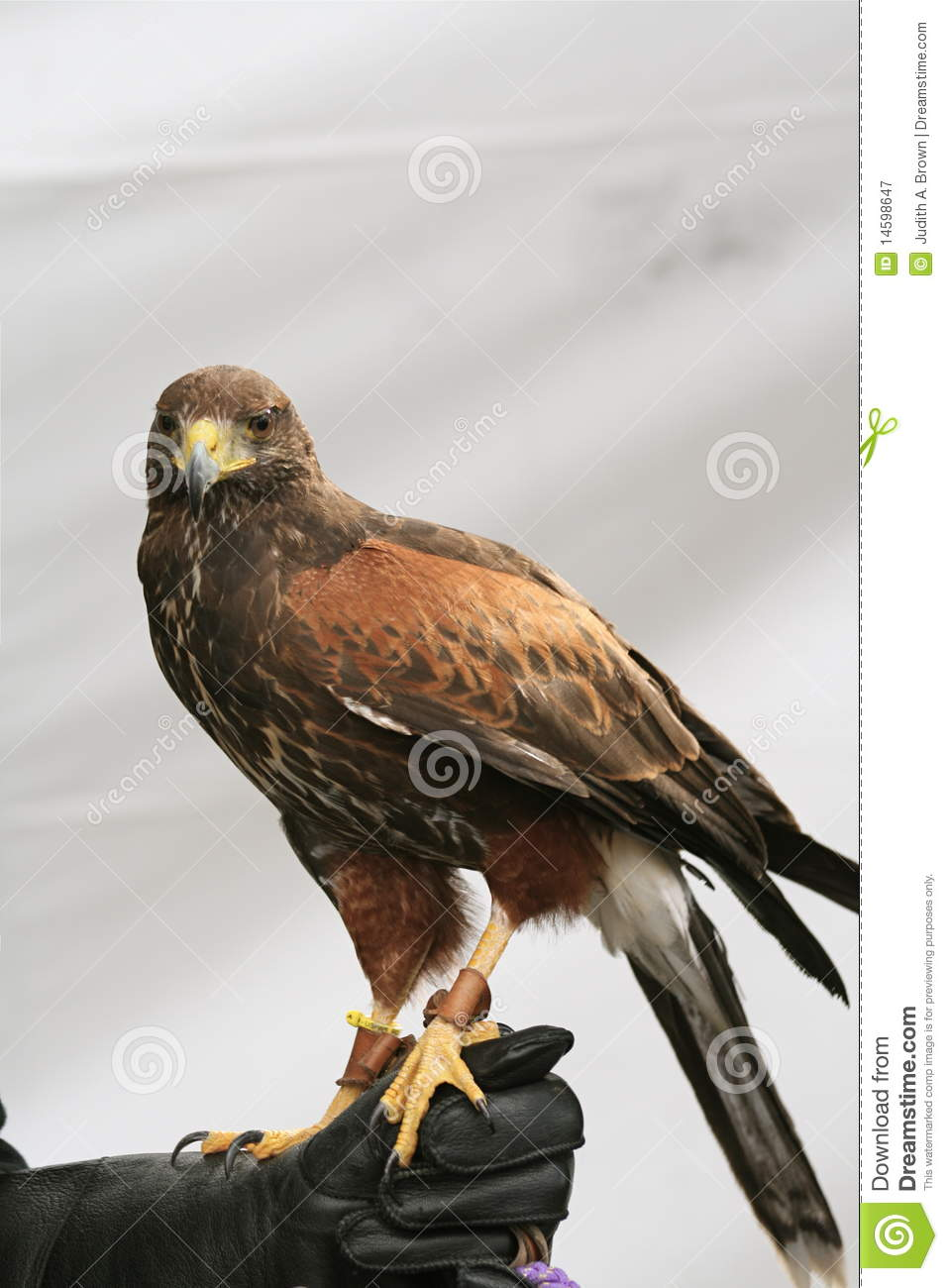 Golden Eagle Standing stock image. Image of feathers ... Fly Eyes