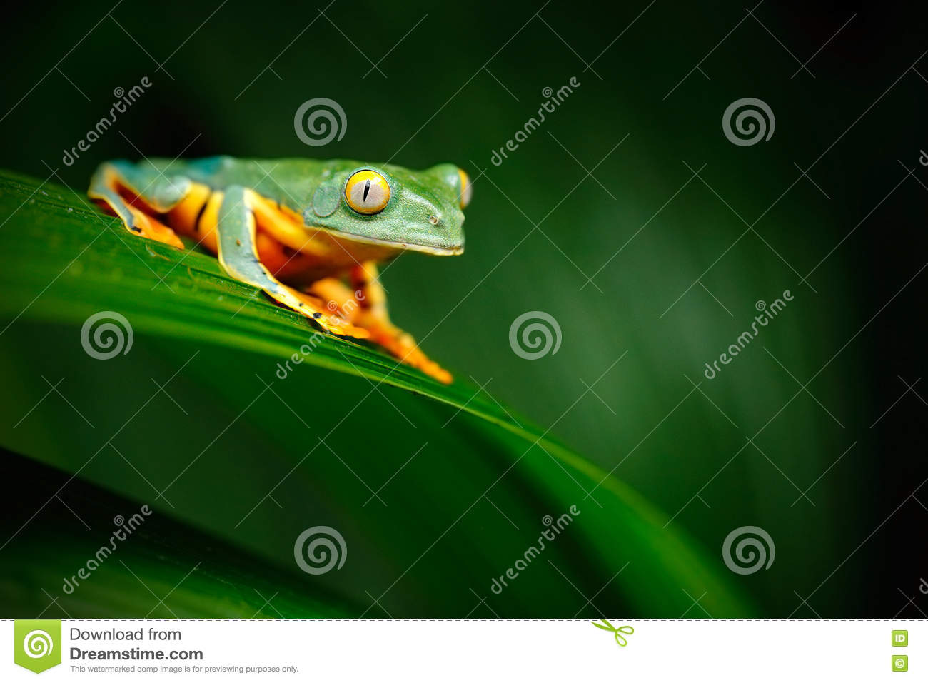 Golden-eyed leaf frog, Cruziohyla calcarifer, green frog sitting on the leaves, tree frog in the nature habitat, Corcovado, Costa