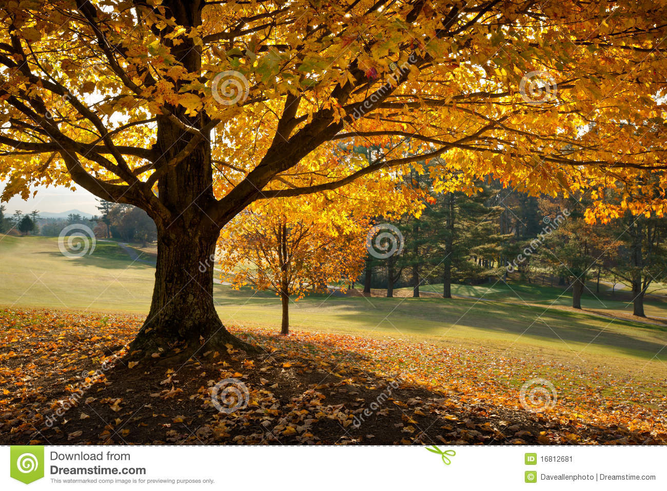 Golden Fall Foliage Autumn Yellow Maple Tree