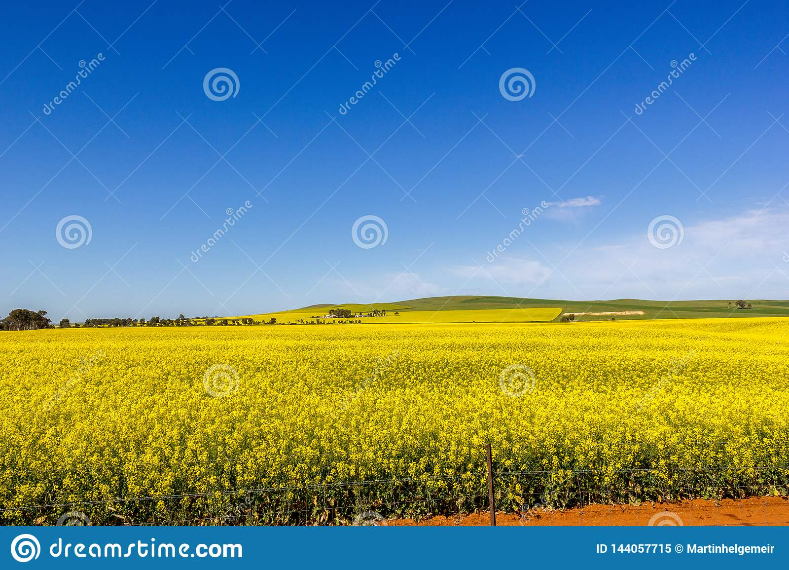 golden field of flowering rapeseed with blue sky - brassica napus - plant for green energy and oil industry, Mildura, South