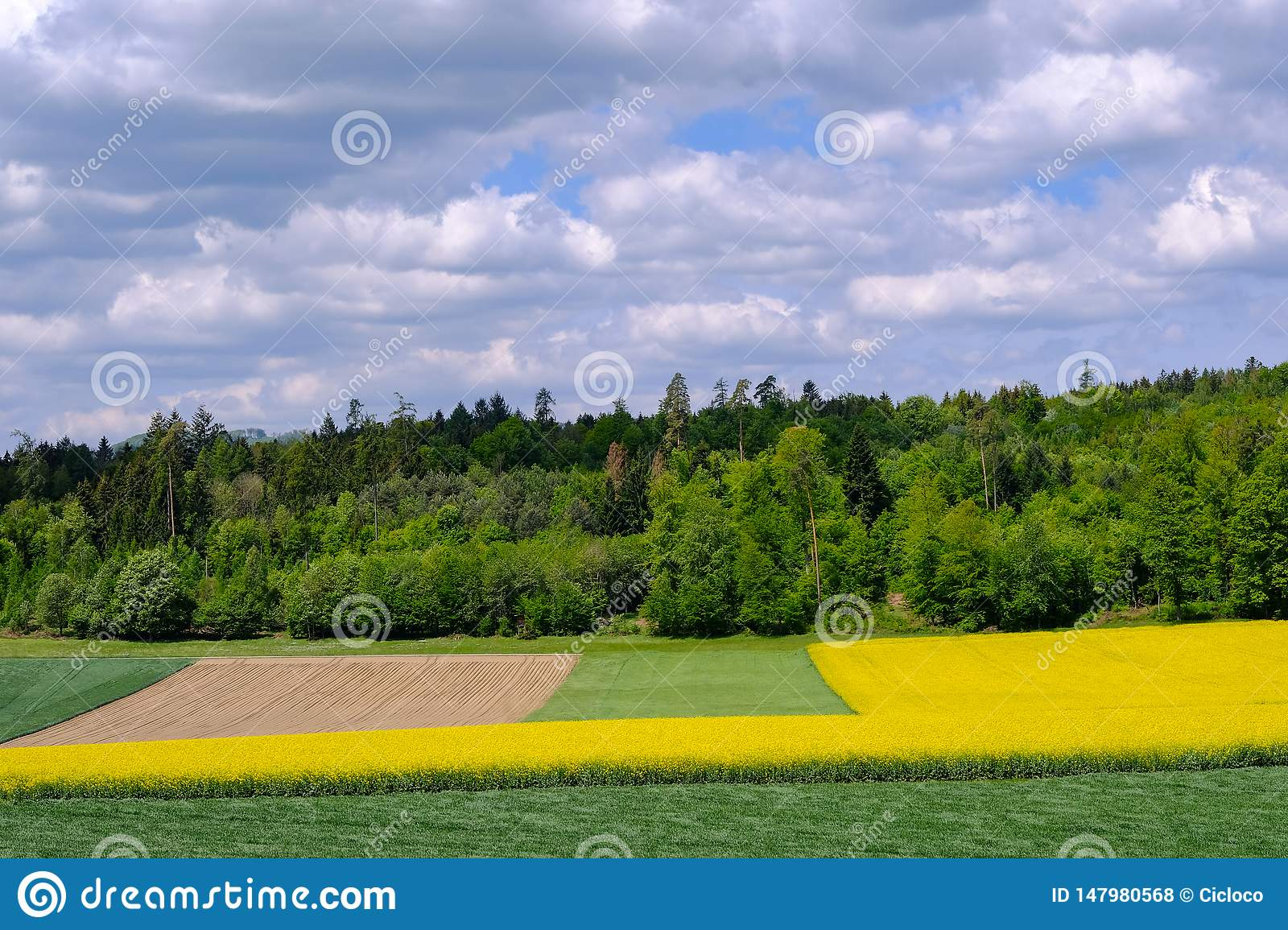 Golden field of flowering yellow rapeseed, Brassica Napus, with beautiful clouds on sky. Hausen AG, Switzerland, Europe