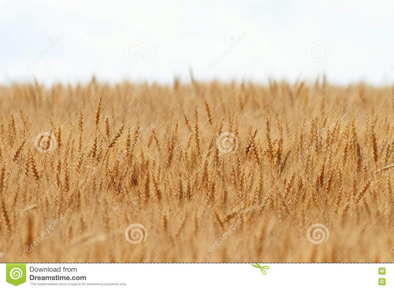 a field of wheat essay In the story a field of wheat by sinclair ross what does the crop of wheat represent for martha follow  1 answer 1 report abuse.