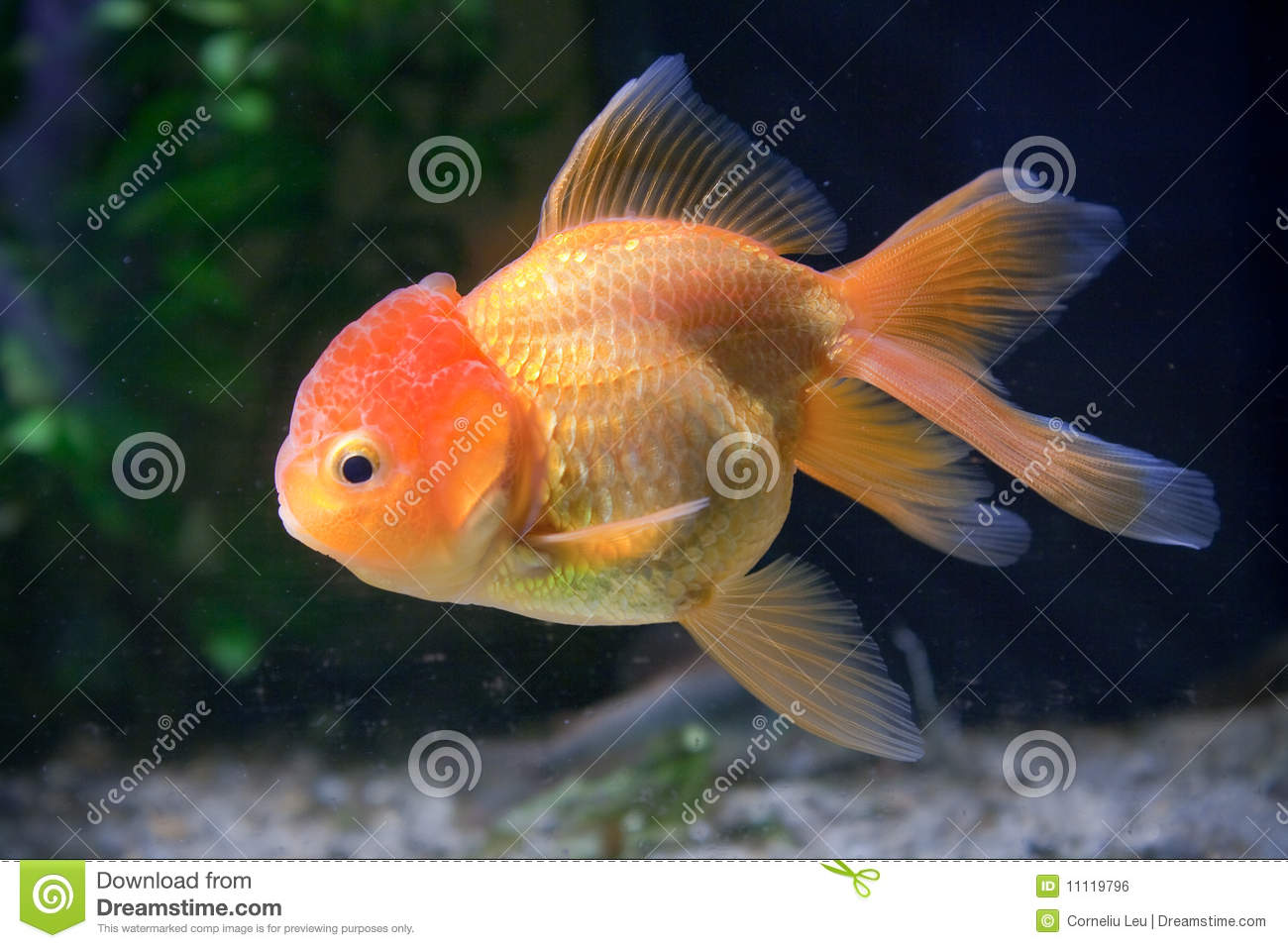 golden fish royalty free stock image image 11119796 aquarium clipart aquarium clip art free