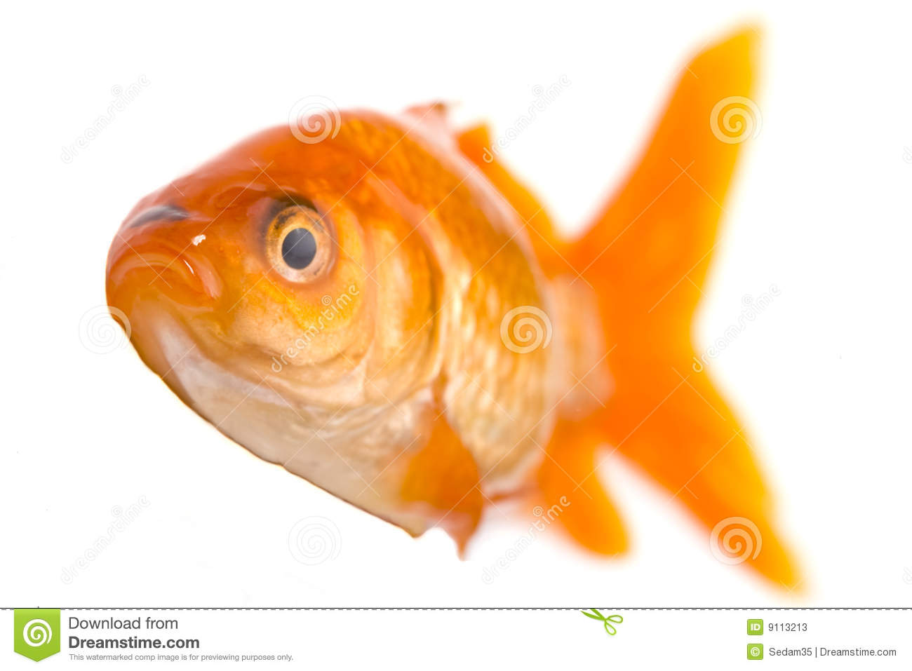 Golden fish stock image image of isolated animal for One fish two fish red fish blue fish