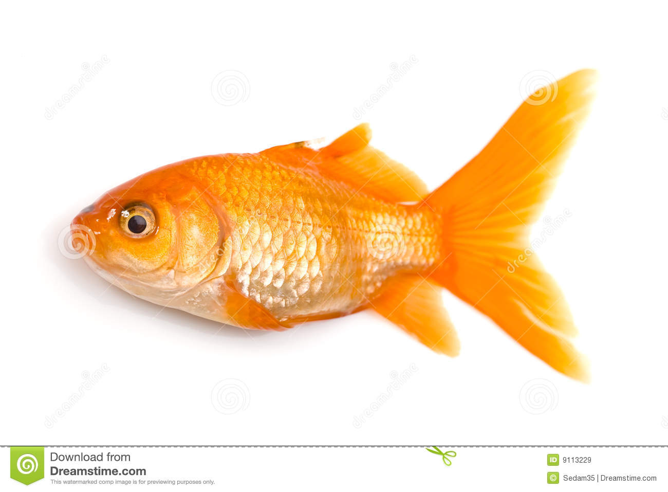 Golden fish stock image image of fishbowl fish aquarium for Image of fish