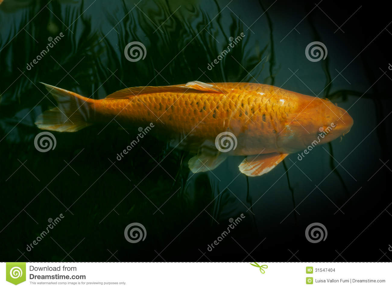 Golden fish swimming in a pond stock images image 31547404 for Golden ornamental pond fish crossword