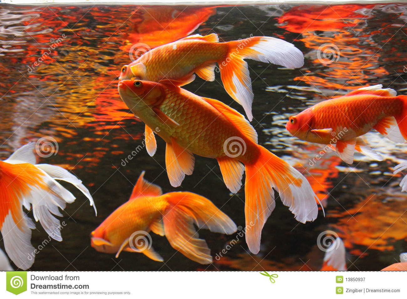 Golden Fishes Stock Image Image Of Aquaculture Japan 13850937