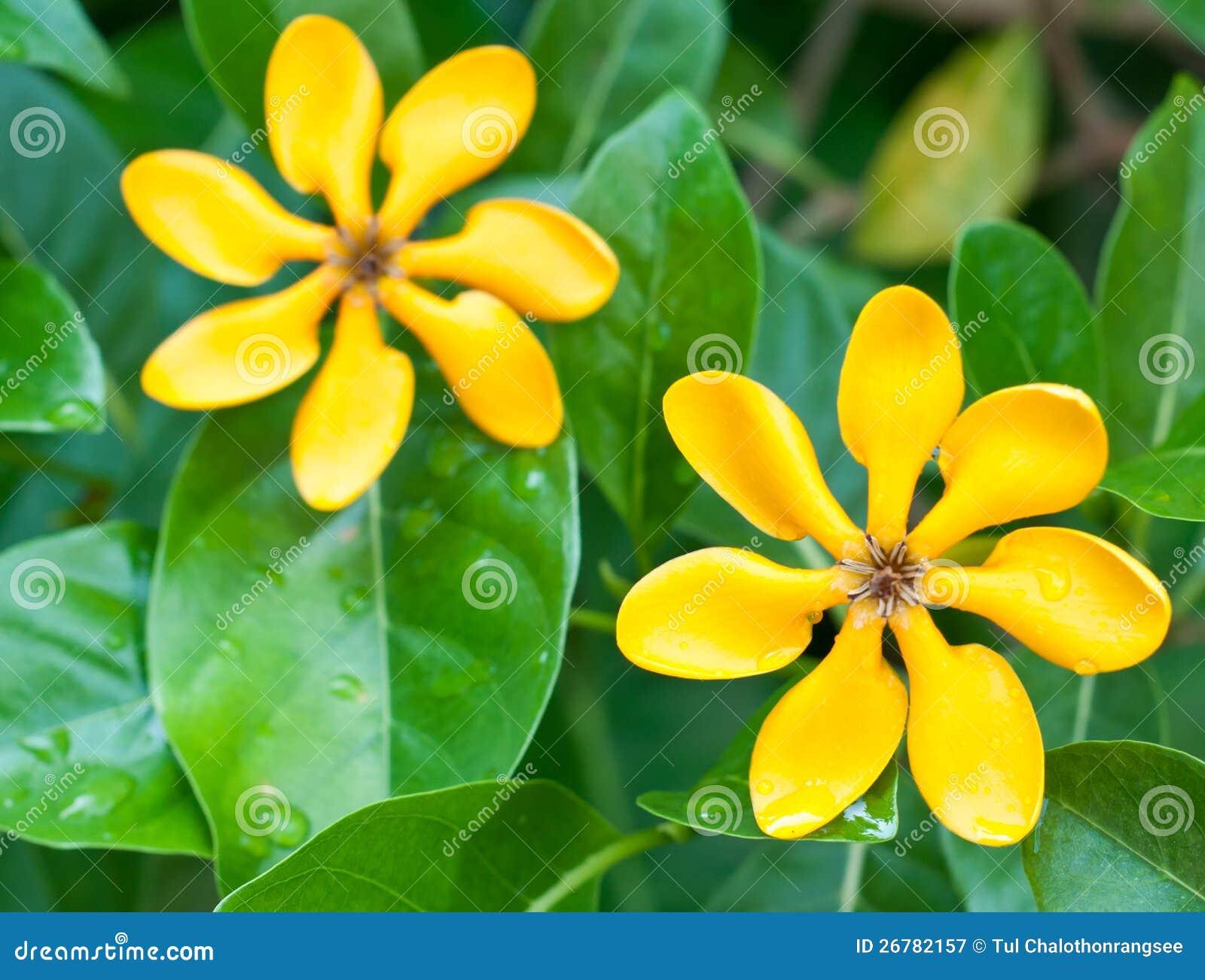 Golden Gardenia Flowers Stock Image Image Of Invite 26782157