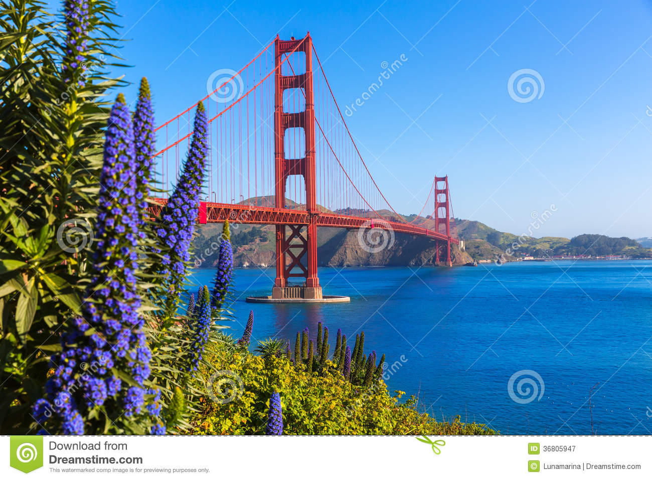 Golden Gate Bridge San Fransisco purpura kwitnie Kalifornia
