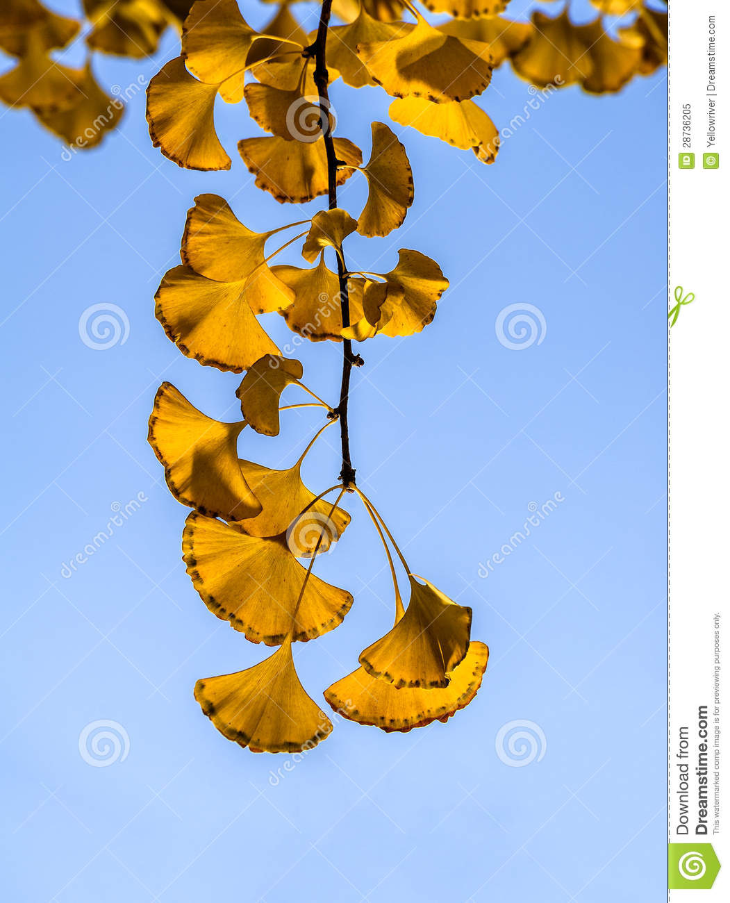 The golden ginkgo leaves against blue sky