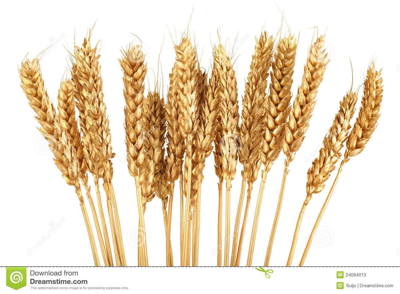 Bunch of Golden Wheat Isolated on White Background.