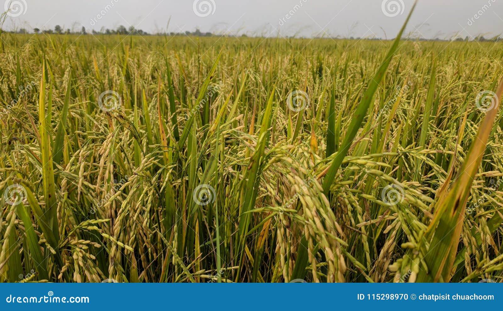 golden grain and golden rice in my farm