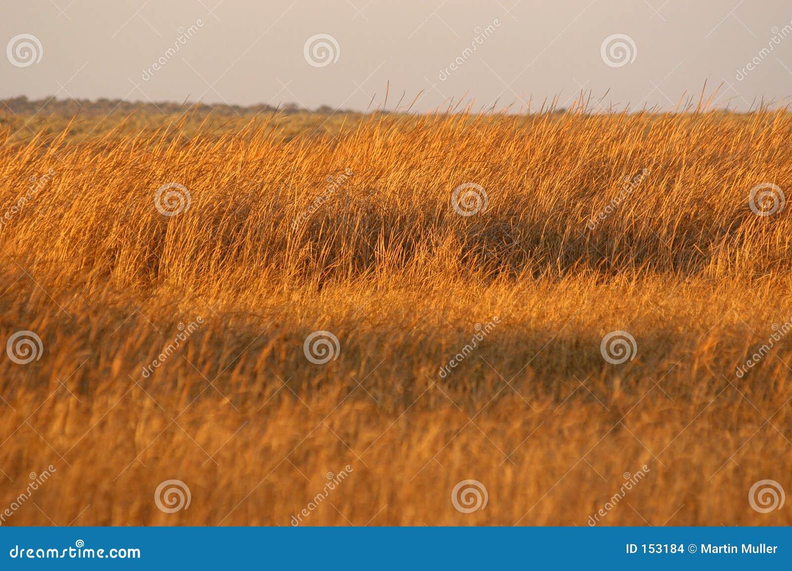 Golden Grass 01
