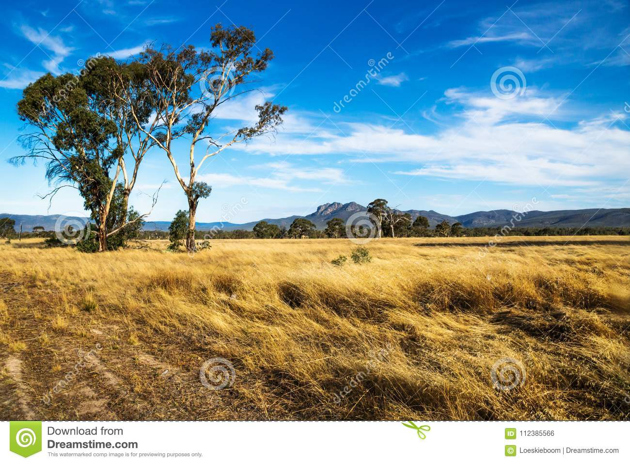 Golden grassland landscape in the bush with Grampians mountains in the background, Victoria, Australia
