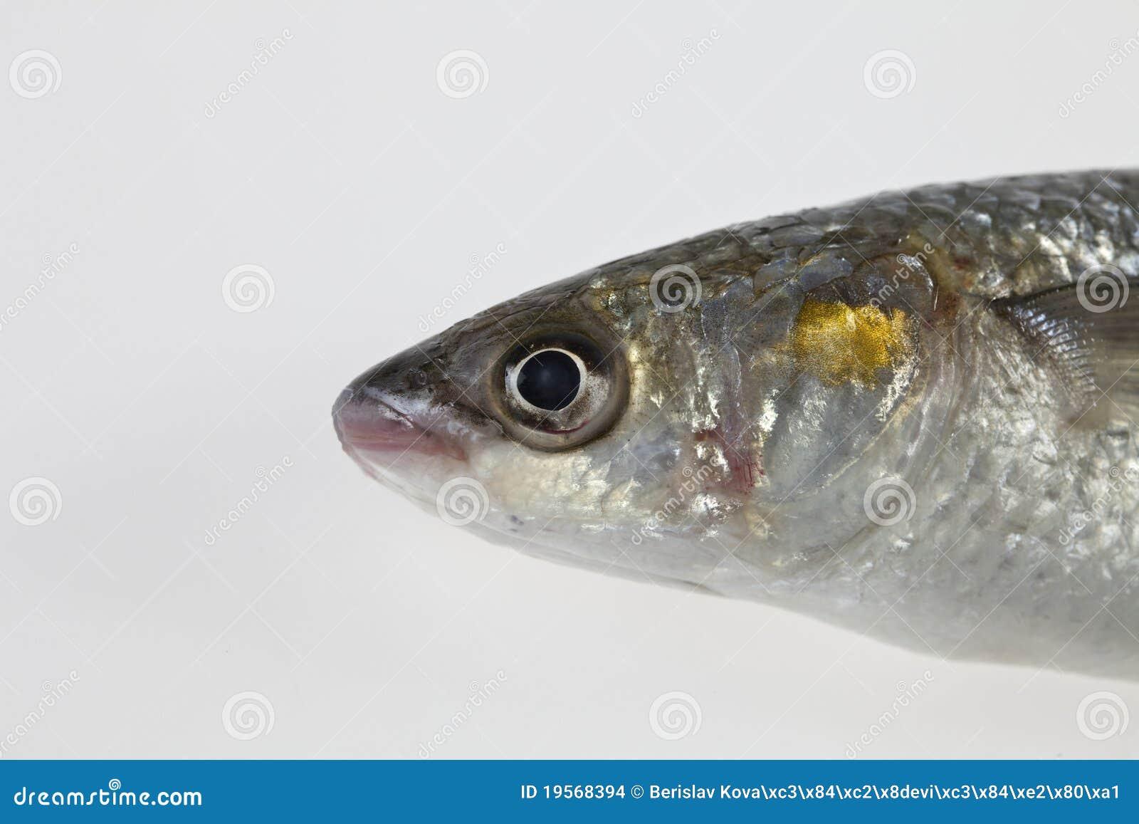 Golden grey mullet liza aurata stock images image 19568394 for Eating mullet fish