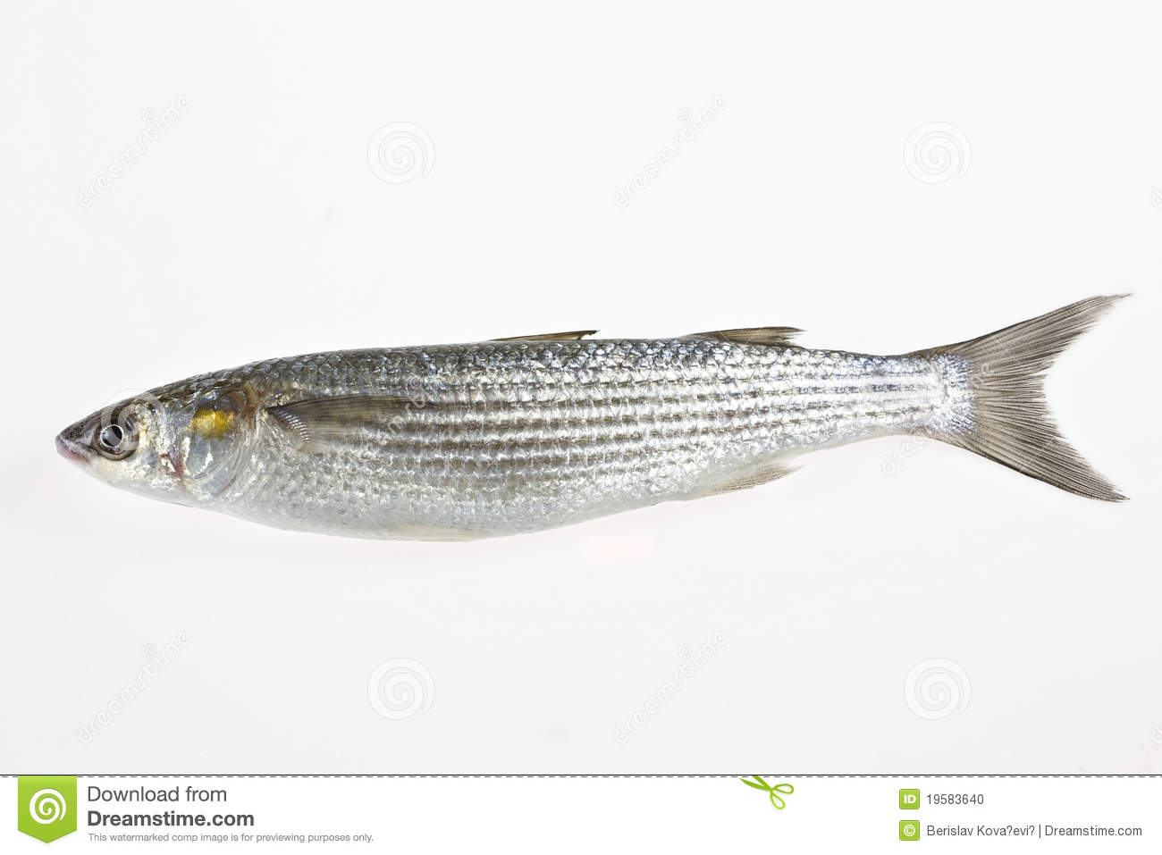 Golden grey mullet liza aurata stock photo image 19583640 for Pictures of mullet fish