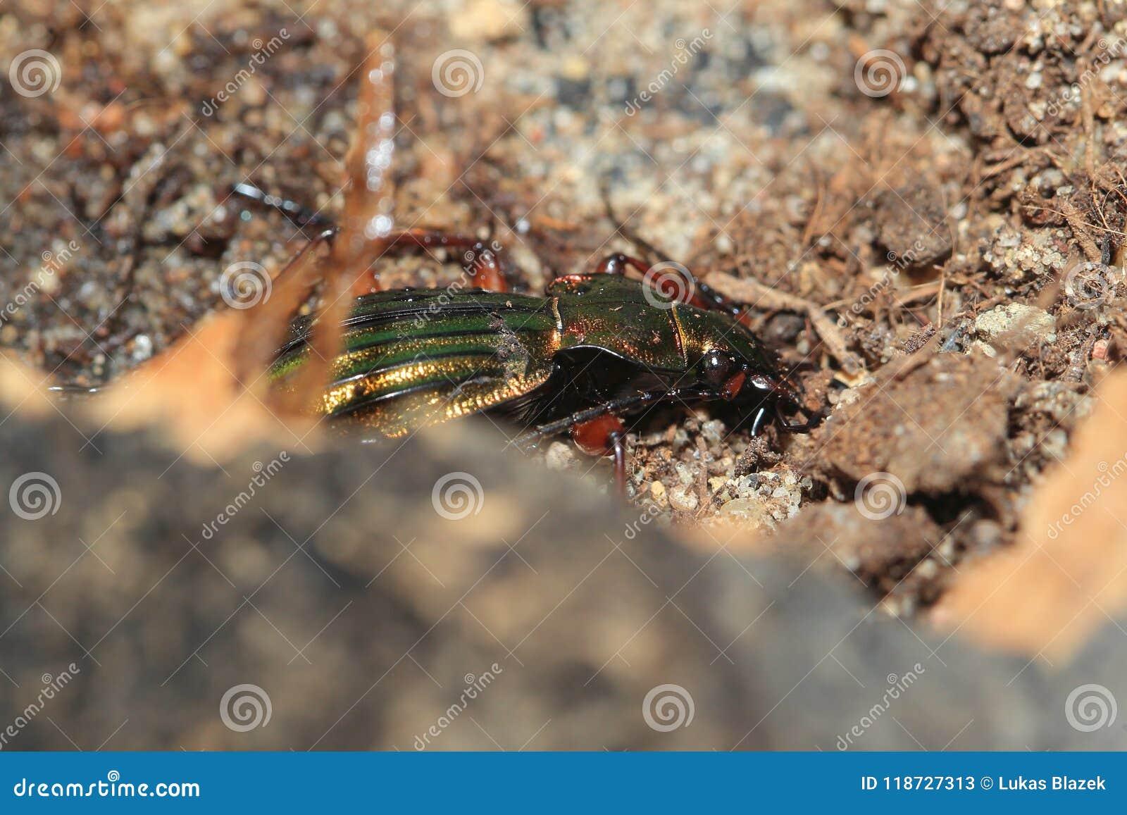Golden ground beetle stock image  Image of wildlife - 118727313