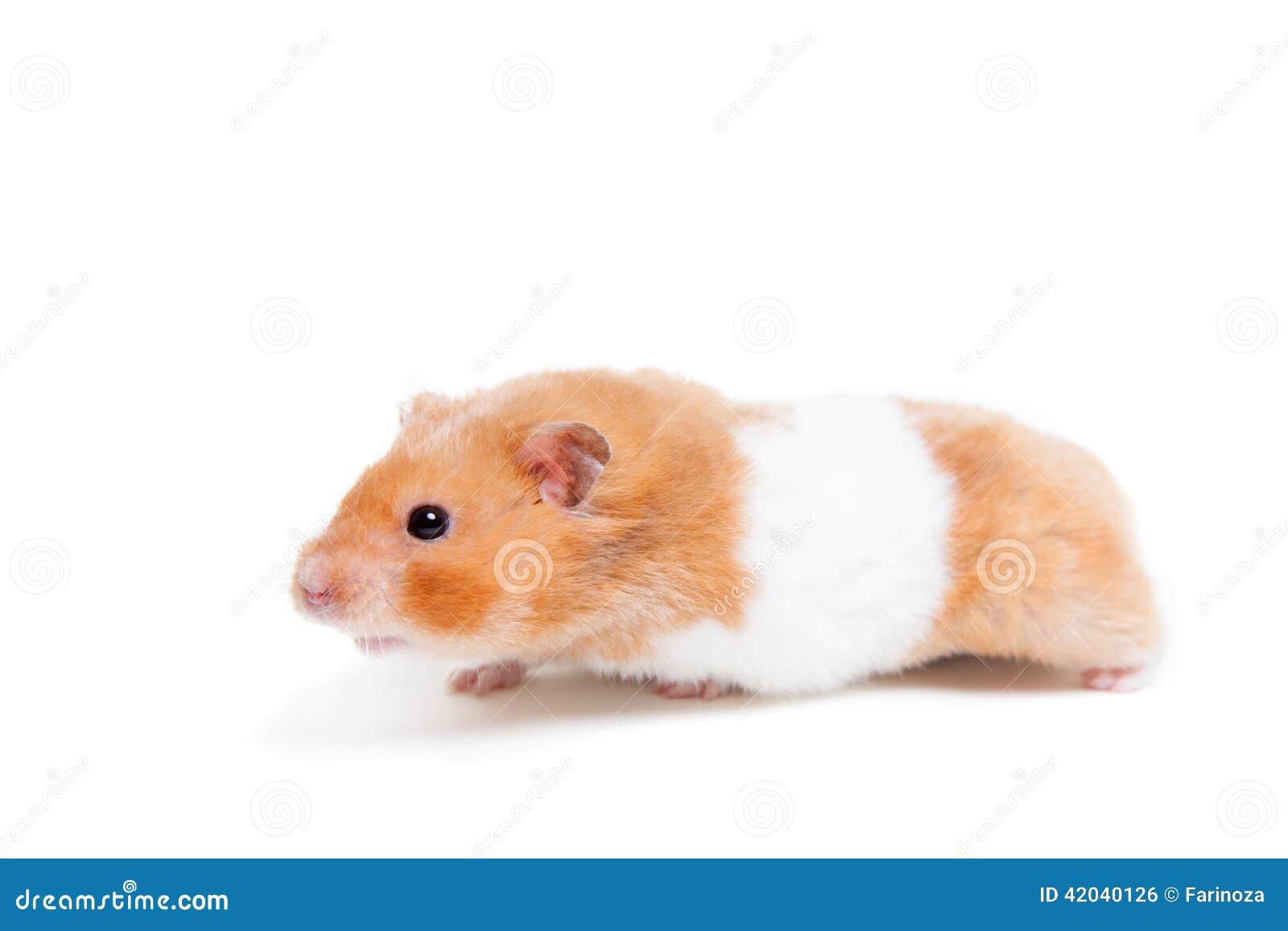 Golden hamster white - photo#1