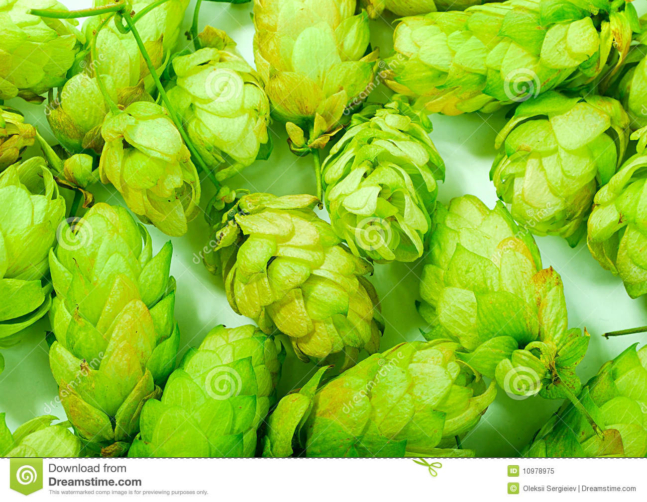Golden hops on white