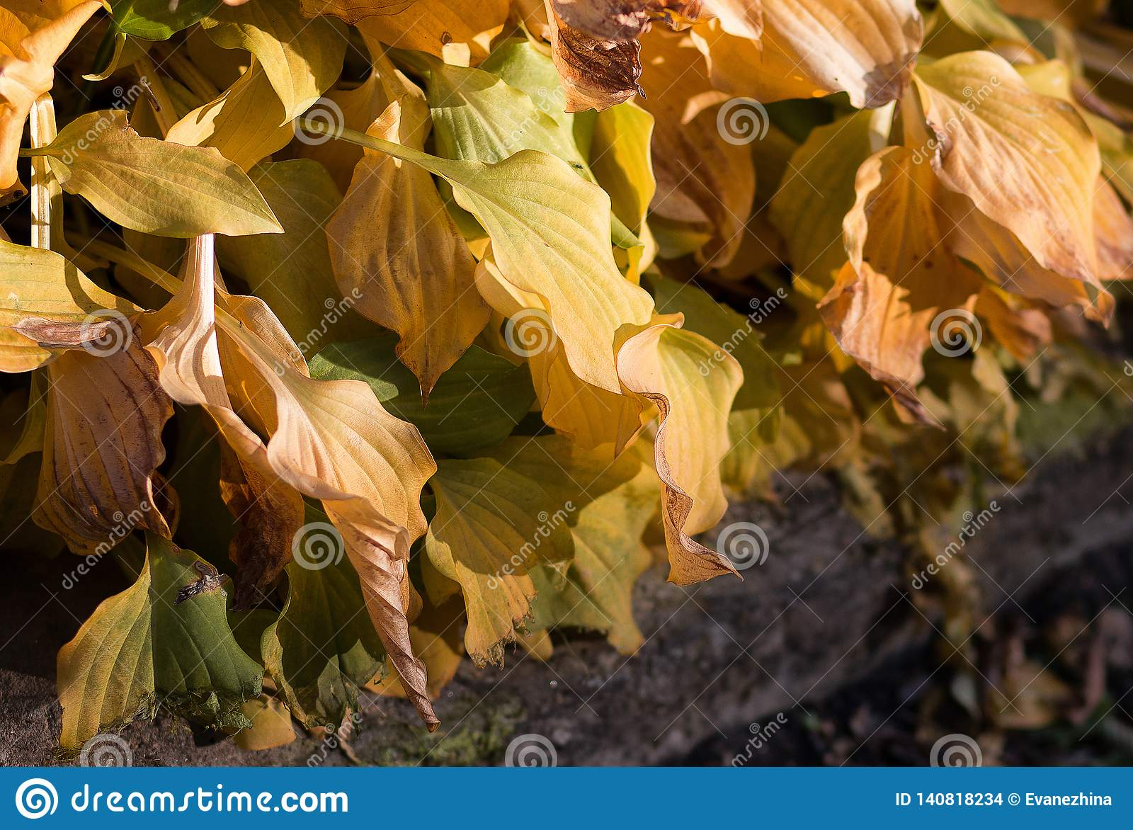 Golden Hosta Foliage In Autumn In Park Stock Photo Image Of Plant