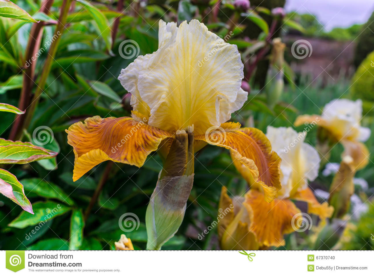 Golden Iris Flowering Plant Stock Photo Image Of Close Flora