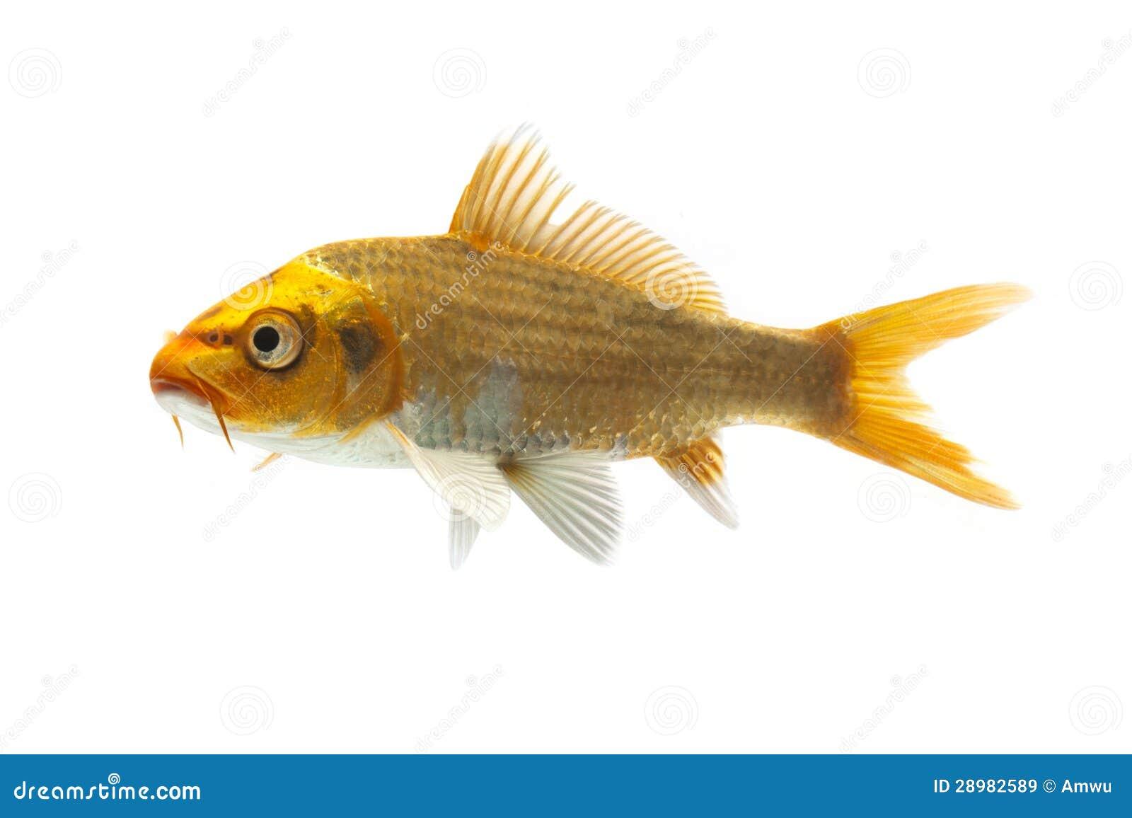 Golden koi fish stock image 29087989 for Koi fish dealers