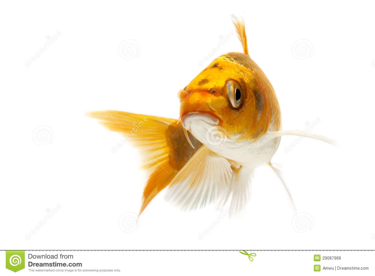 Golden koi fish royalty free stock photos image 29087968 for Coy poisson