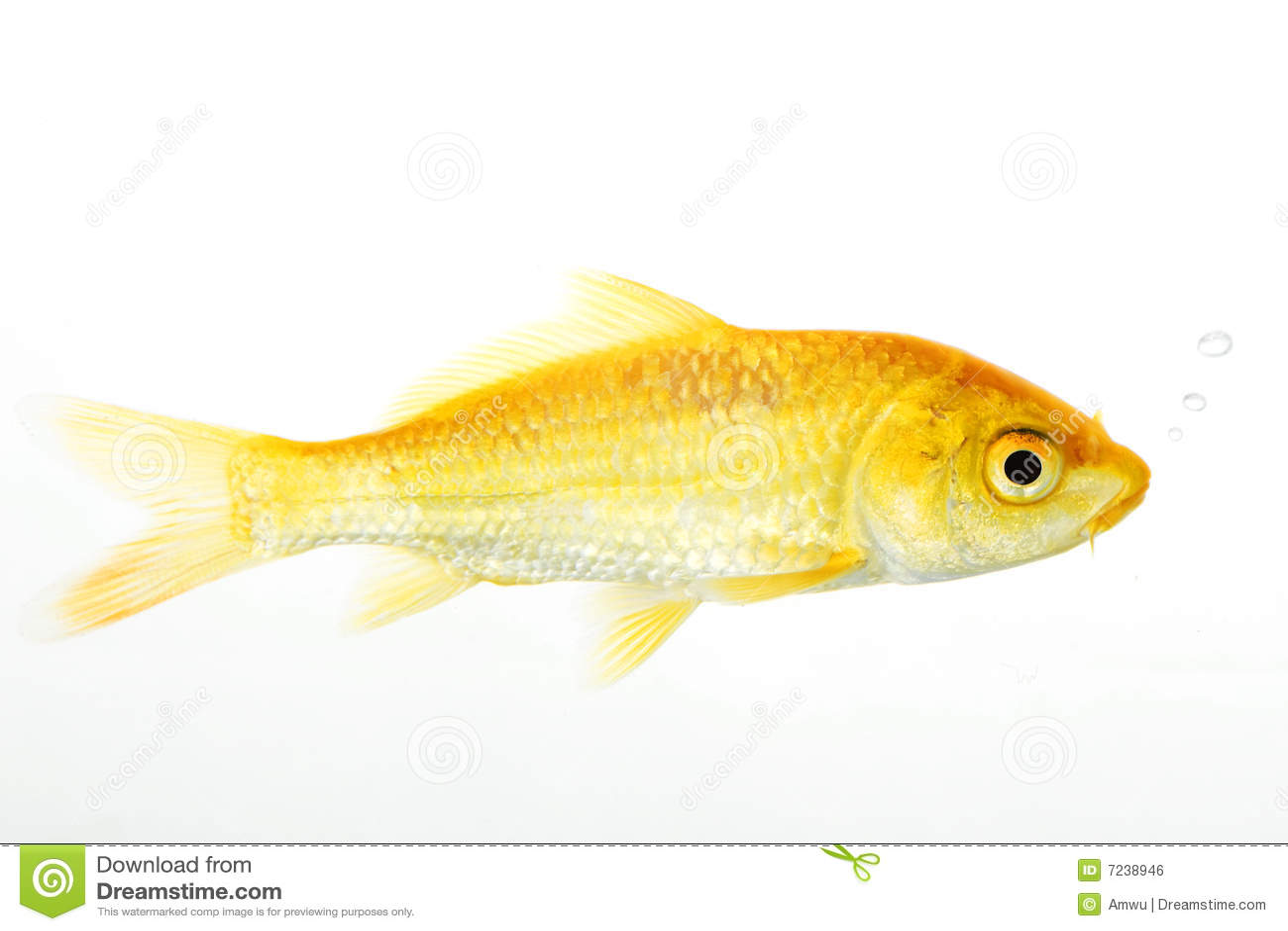 Golden koi fish stock photo image of biology space fish for Price of koi fish
