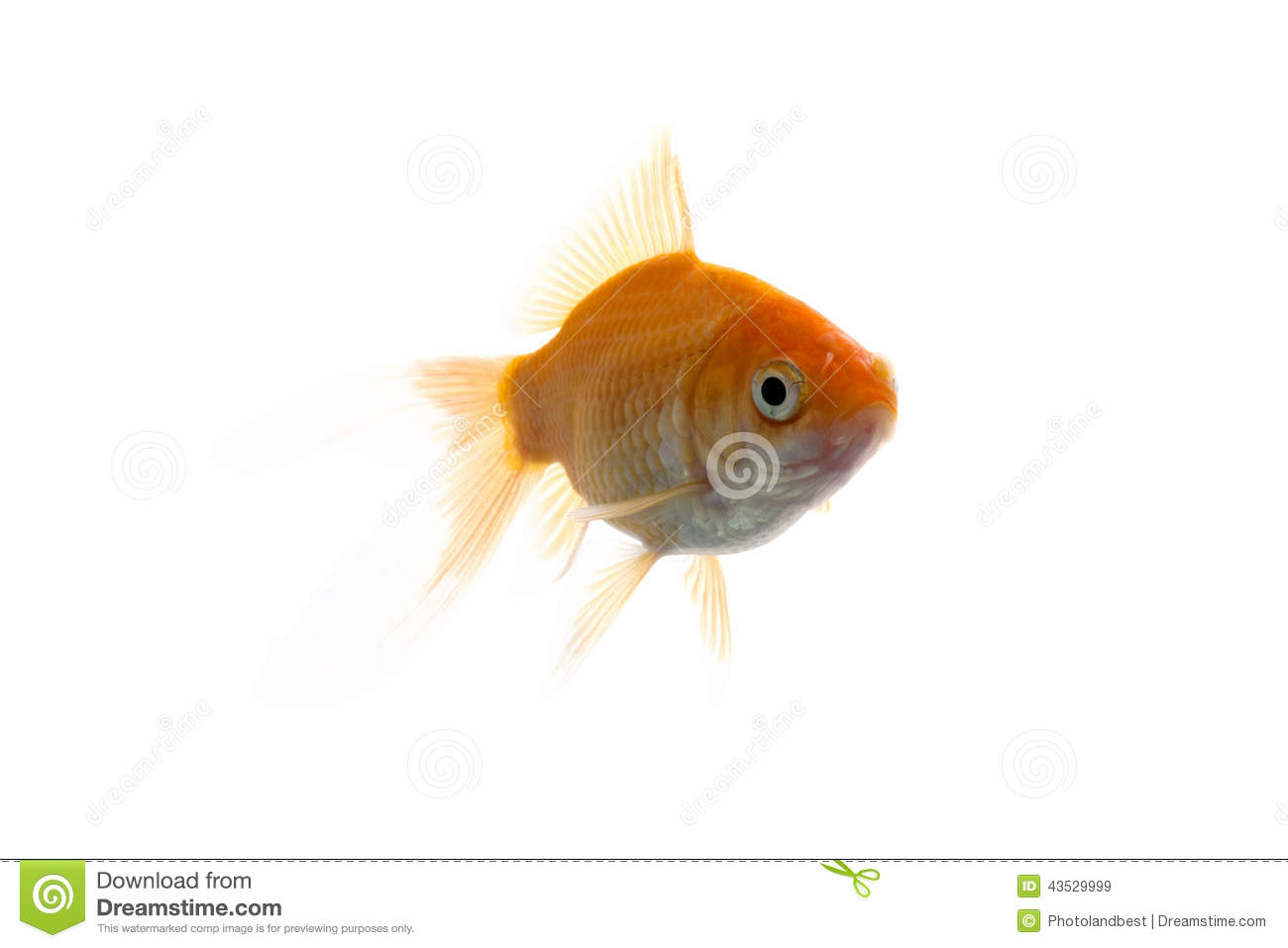 Golden koi fish royalty free stock photography for Koi fish dealers