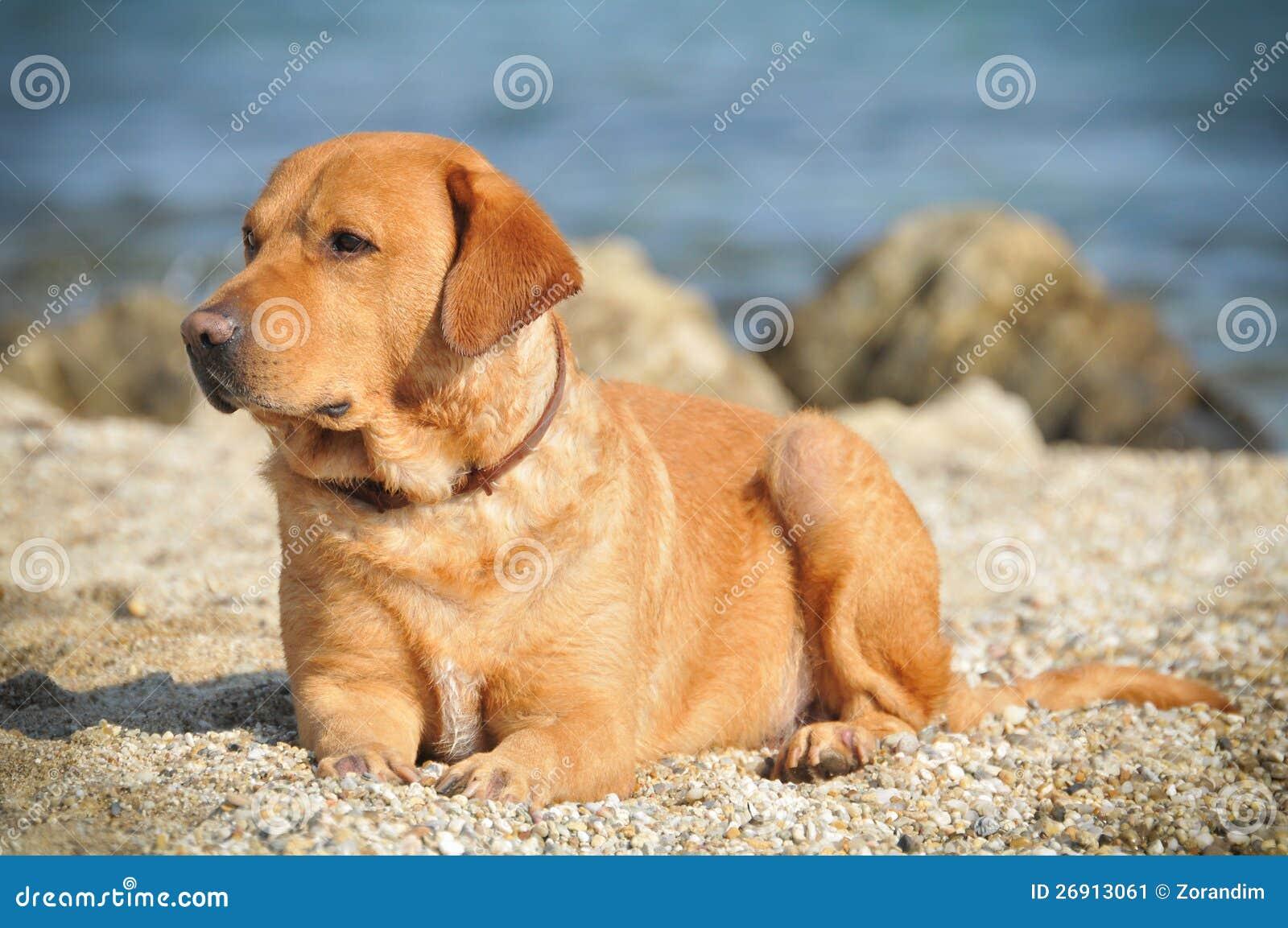 Golden Labrador Stock Image - Image: 26913061