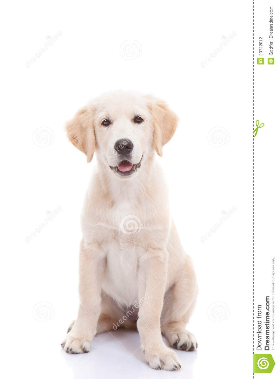Golden labrador retriever puppy stock photography image for Dog house for labrador retriever