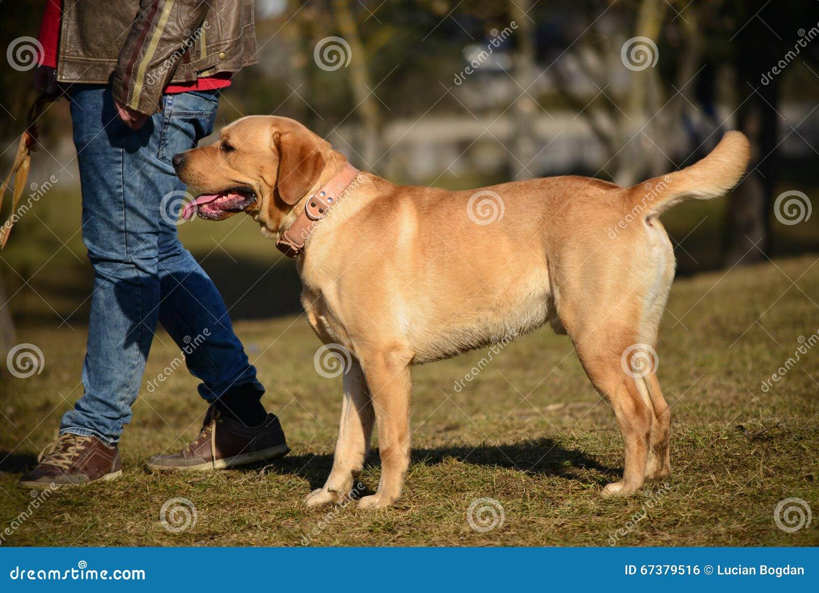 Golden Labrador Retriever on a Walk