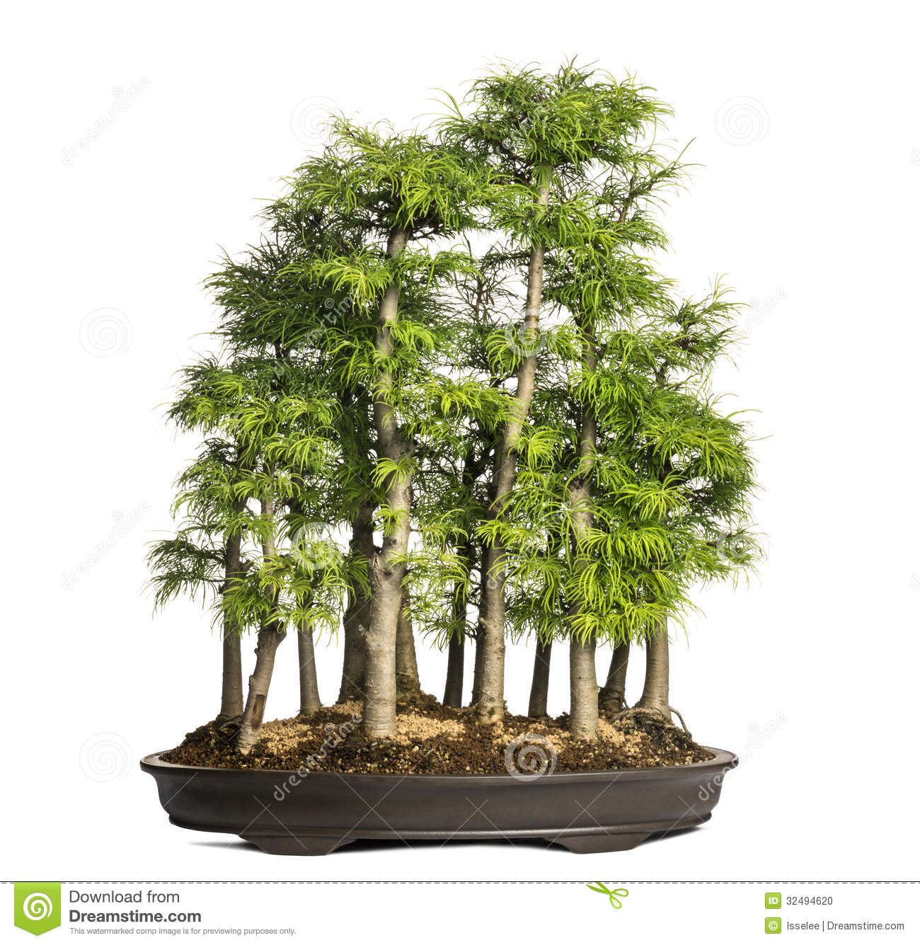 Golden Larch Bonsai Tree Pseudolarix Amabilis Isolated
