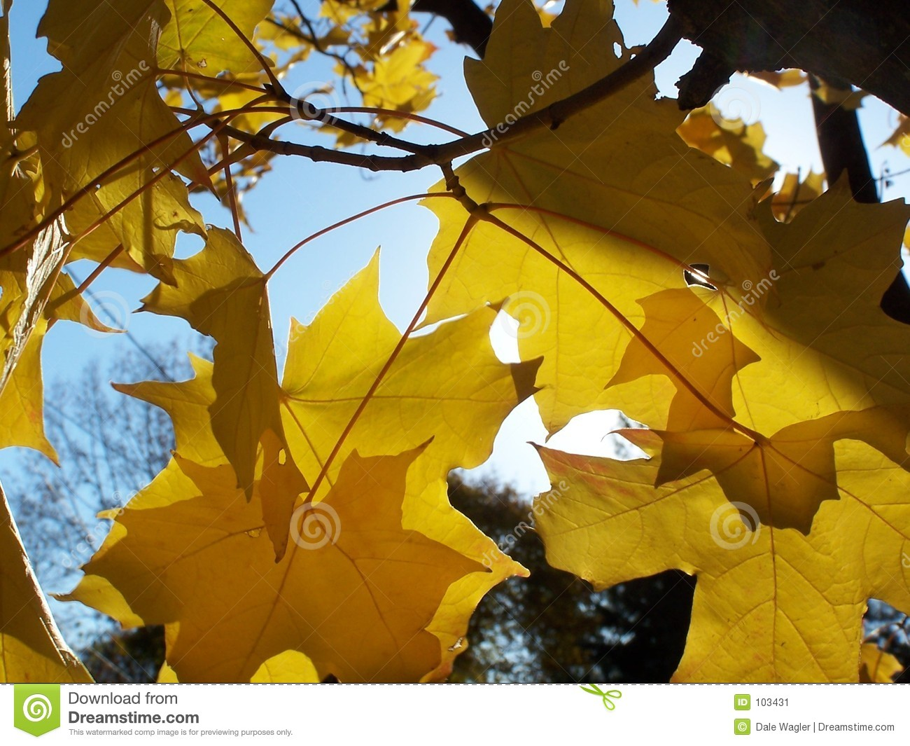 Download Golden leaves stock image. Image of leaves, maple, gold - 103431