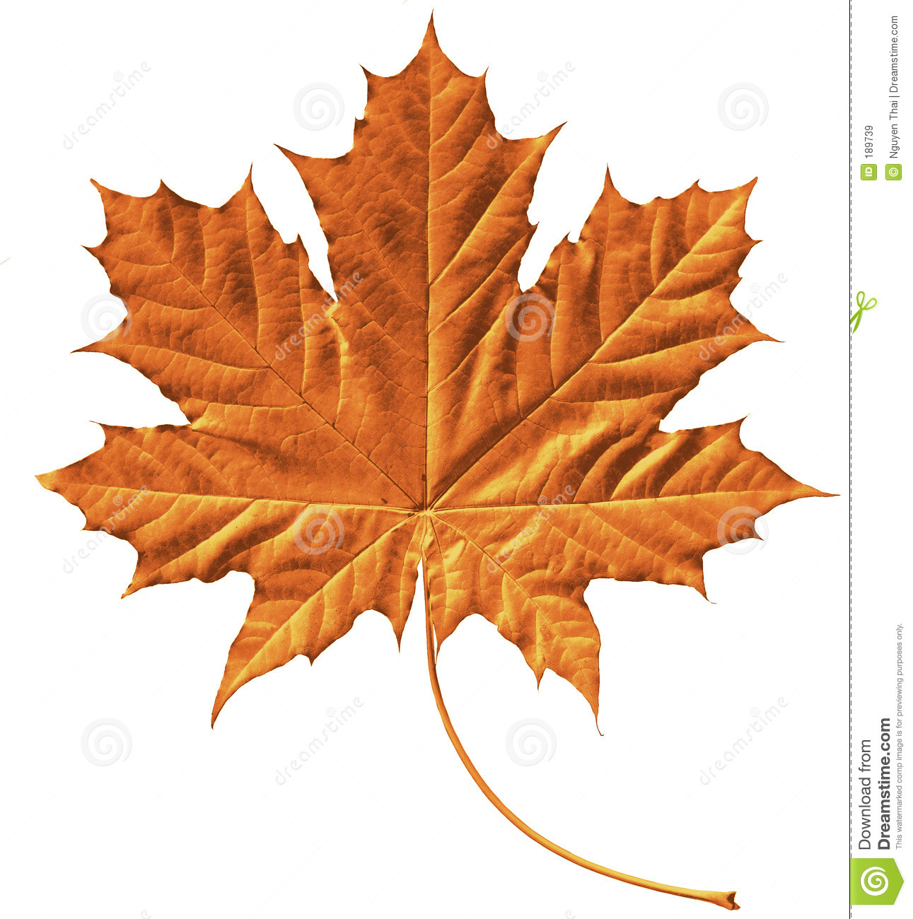 golden maple leaf royalty free stock images image 189739