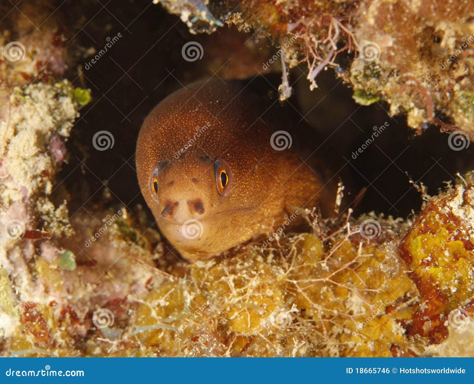 golden moray eel utila honduras underwater snake stock photo
