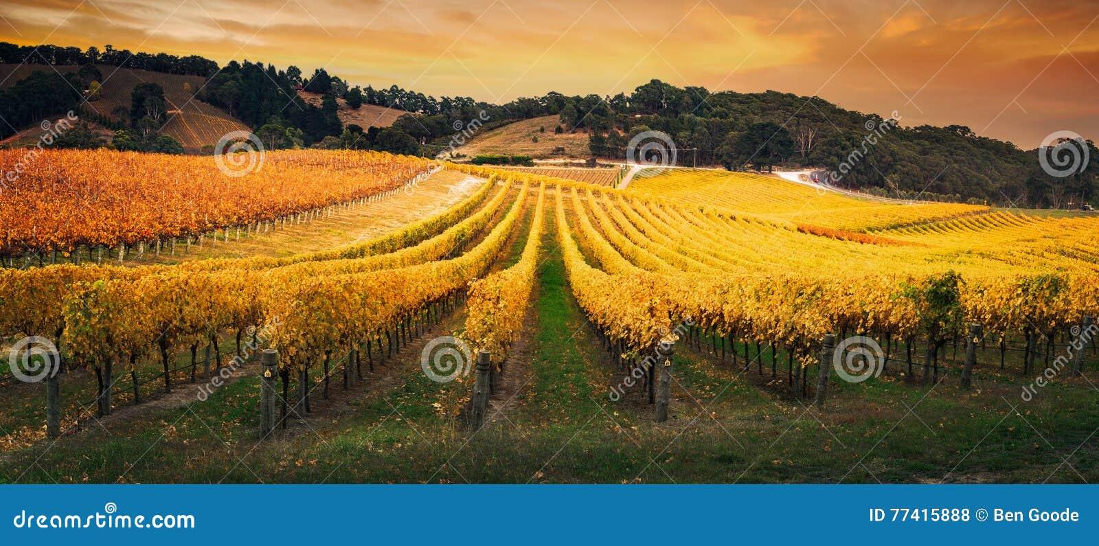 Golden Morning Vineyard