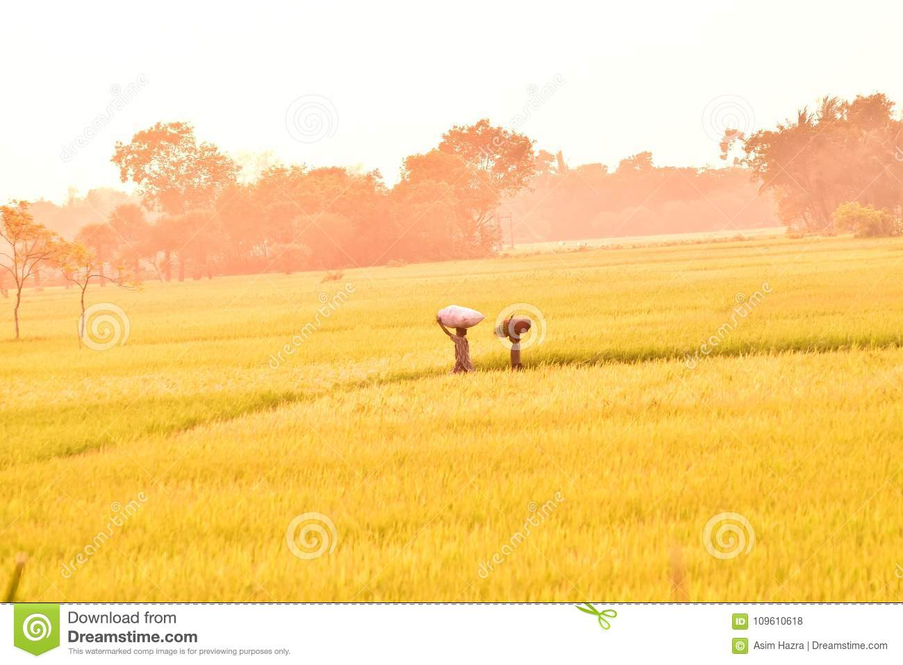 Golden Paddy Field Editorial Stock Photo Image Of Summer 109610618
