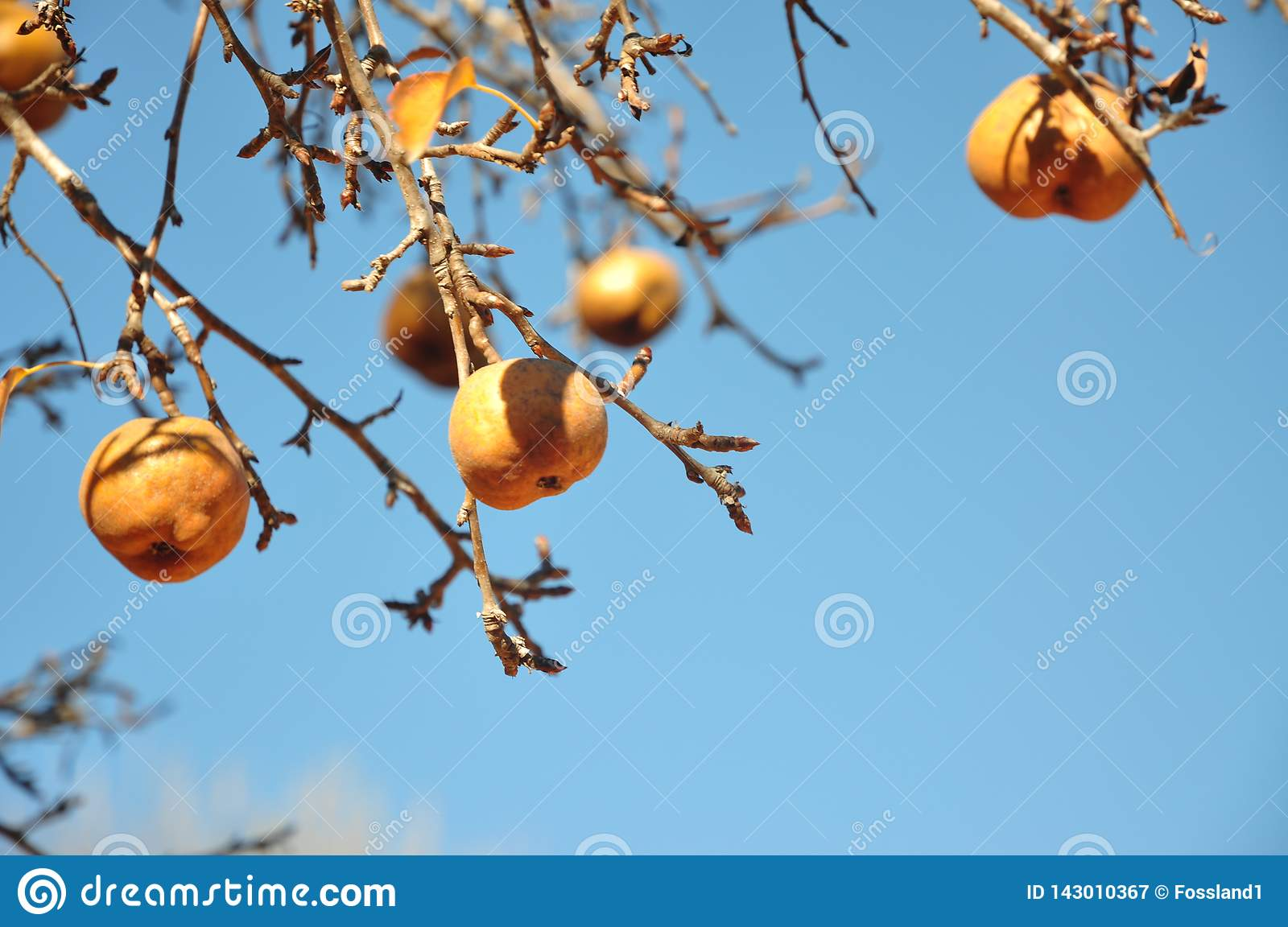 Golden pears on pear tree
