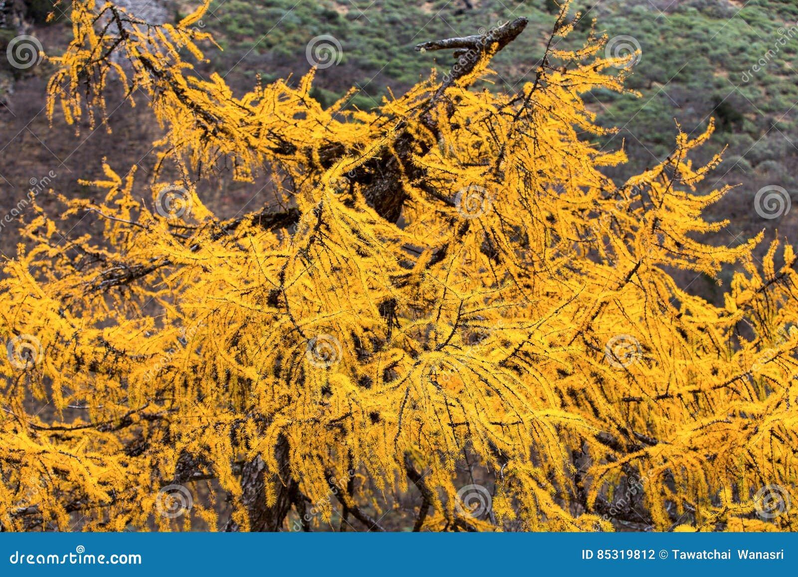 golden pine tree stock photo image of sichuan destination 85319812